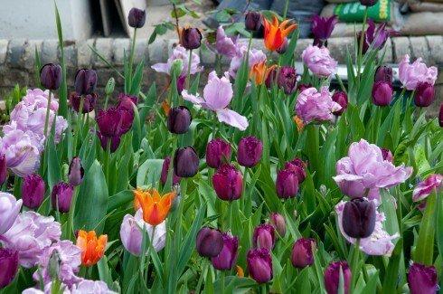 fioletowy tulipan cebulki