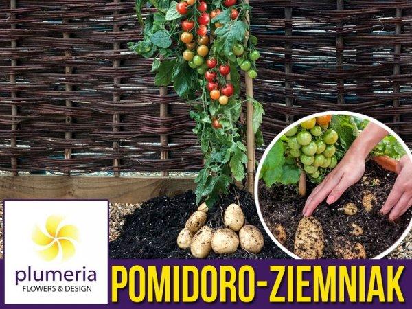 Pomidoro-ziemniak Sadzonka TomTato® (Solanum lycopersicum, Solanum tuberosum)