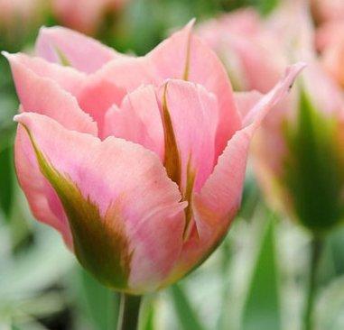 zielono różowy tulipan cebulki