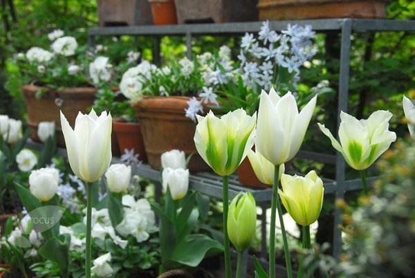 Tulipan Viridiflora 'Sping Green' (Tulipa) CEBULKI