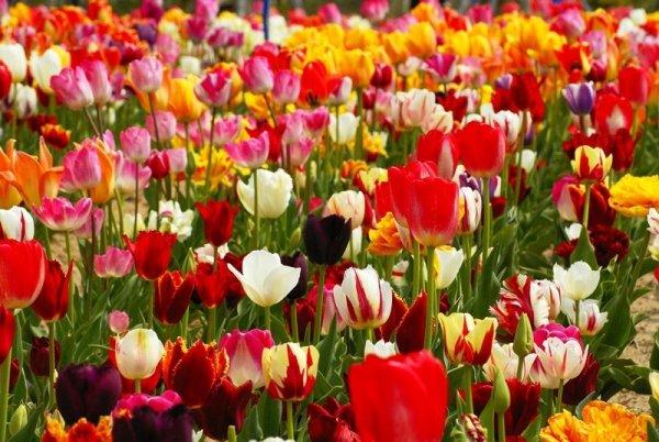 Tulipan liliokształtny 'Moonshine' (Tulipa) CEBULKI
