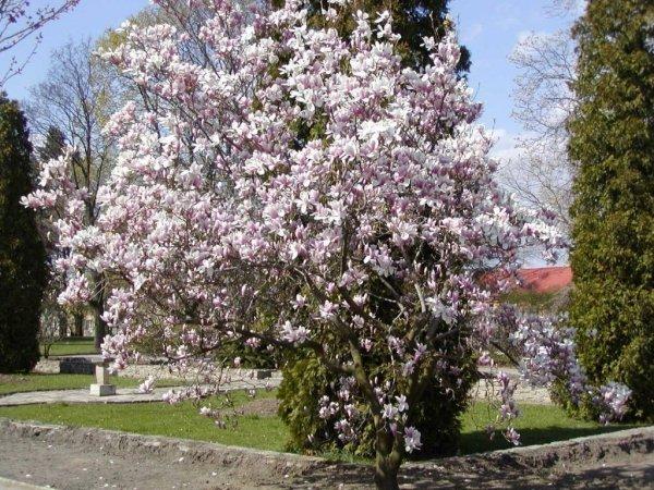 Magnolia Soulangeana uprawa