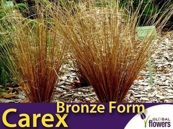 Turzyca włosowa 'Bronze Form' (carex comans) Sadzonka
