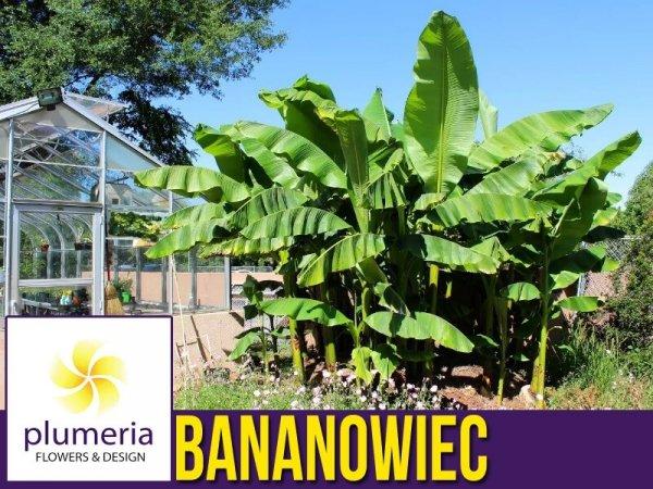 Mrozoodporny Bananowiec Freddi Banani sadzonka