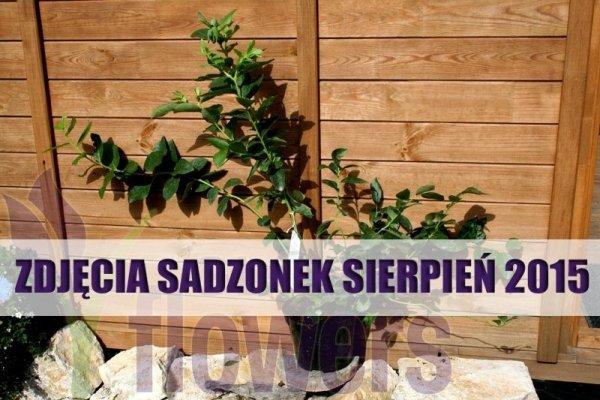 Borówka amerykańska sadzenie i pielęgnacja , plantacja