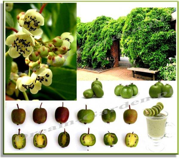 Mini Kiwi uprawa i rodzaje