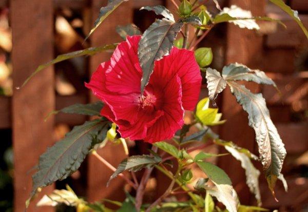 Hibiskus o wielkich kwiatach