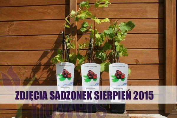 Ribes x Nidigrolaria
