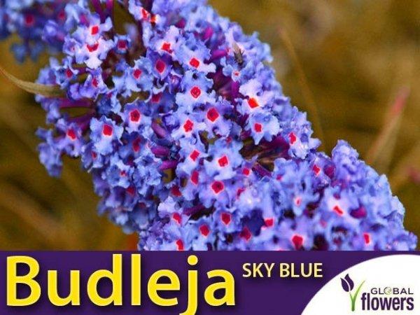 Budleja 'Sky Blue' Motyli Krzew Sadzonka
