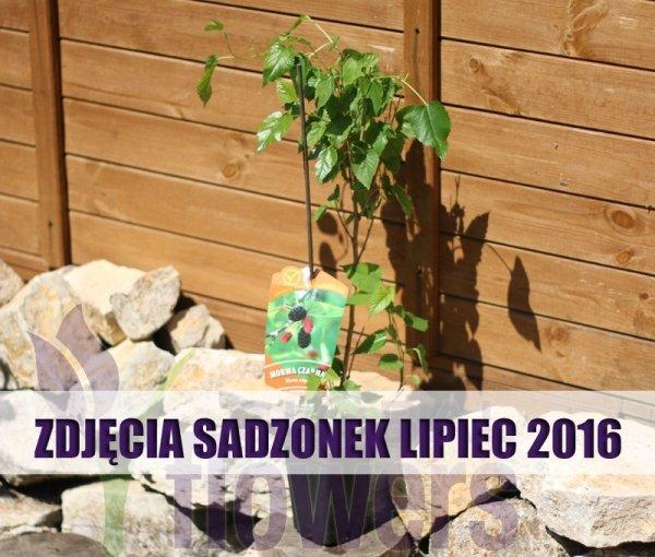 Morus nigra sadzonki