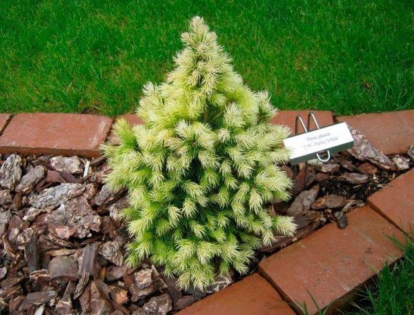 Picea glauca daisy's white cena