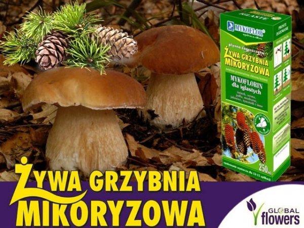 mikoryza grzyby leśne