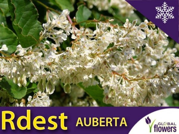Rdest Auberta Pnącze (Fallopia aubertii ) Sadzonka