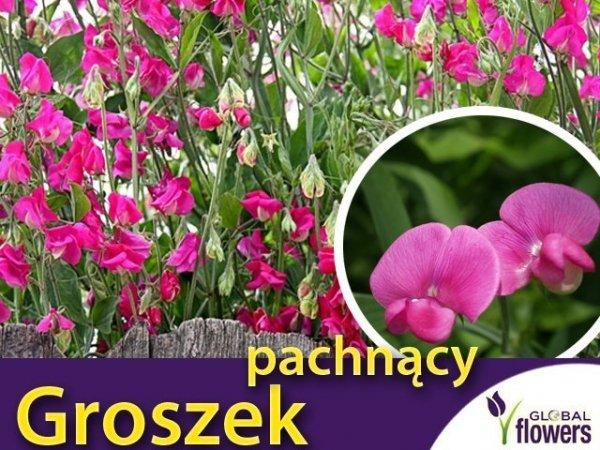Groszek pachnący, różowy (Lathyrus odoratus) 3g