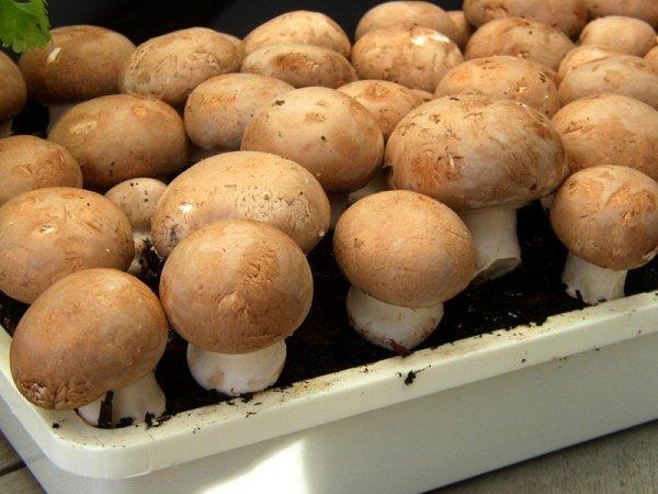 Pieczarka brązowa - gotowy zestaw do uprawy 3 litry