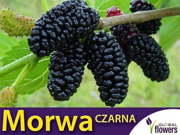 Morwa Czarna (Morus nigra) Smaczne Owoce Sadzonka