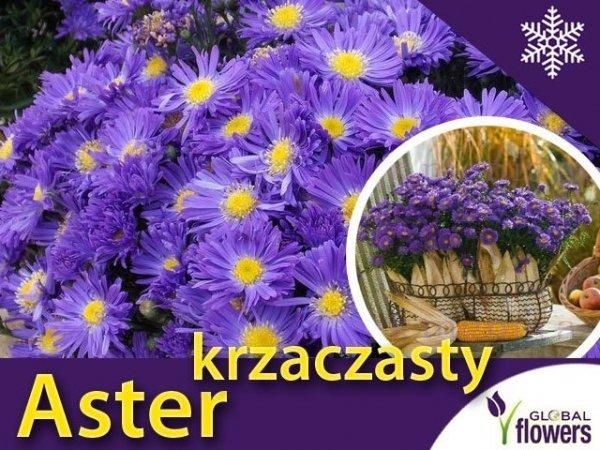jesienne kwiaty astry, sadzonka krzaczastego astra