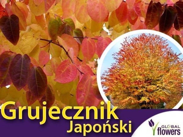 Grujecznik japoński Sadzonka (ercidyphyllum japonicum)
