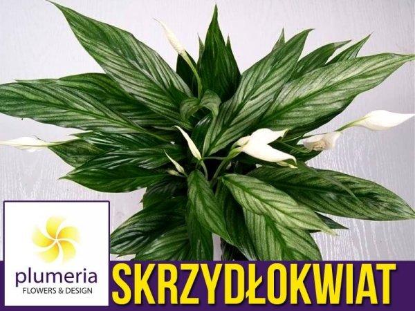 Skrzydłokwiat SILVER CUPIDO srebrne liście cena gdzie kupić stanowisko uprawy