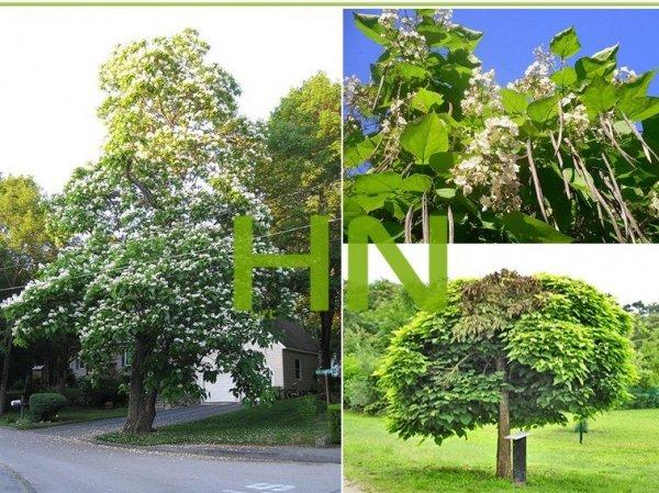 drzewo odstraszające komary