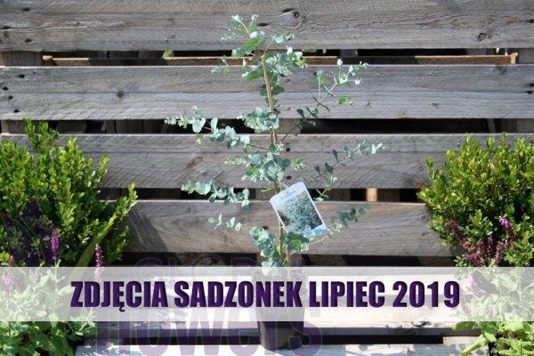 Niebieski eukaliptus sadzonki