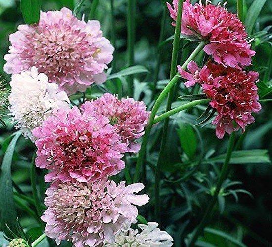 Driakiew, Wdówka- na kwiat cięty