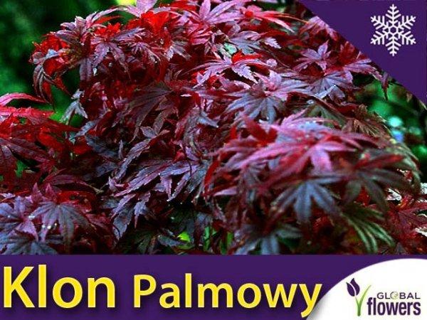 Klon Palmowy Atropurpureum (Acer palmatum Atropurpureum) Sadzonka