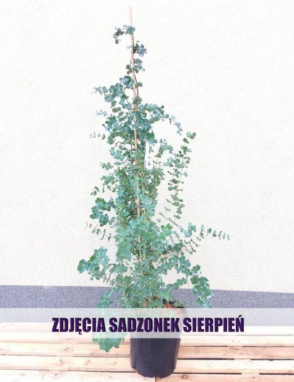 niebieski eukaliptus allegro mrozoodporny