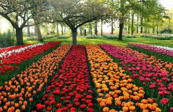 (Tulipa Apledoorn) CEBULKI