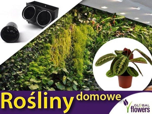 maranta roślina domowe cena