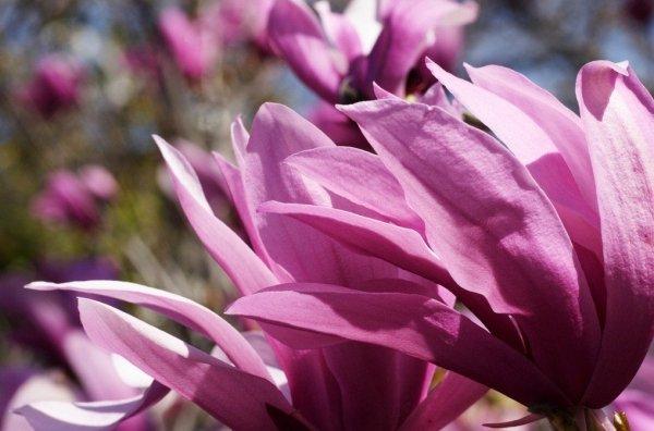Mikoryzowanie magnolii