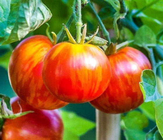 Pomidor Czerwona zebra