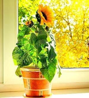 Słonecznik do uprawy w doniczkach