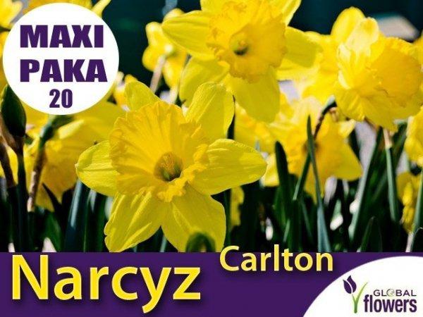MAXI PAKA 20 SZT Narcyz Carlton (Narcissus) CEBULKI