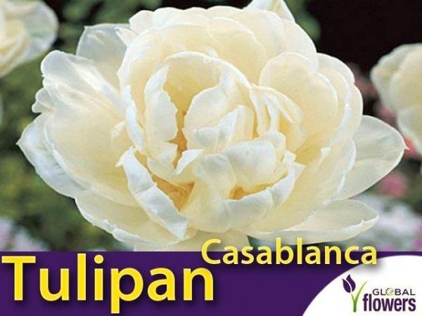 Tulipan Pełny 'Casablanca' (Tulipa) CEBULKI