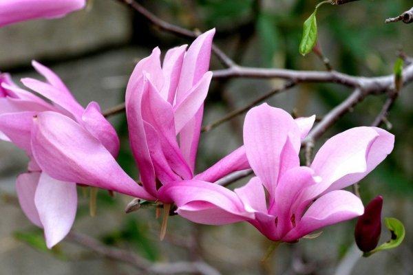 Magnolie w ogrodzie: wymagania i pielęgnacja magnolii