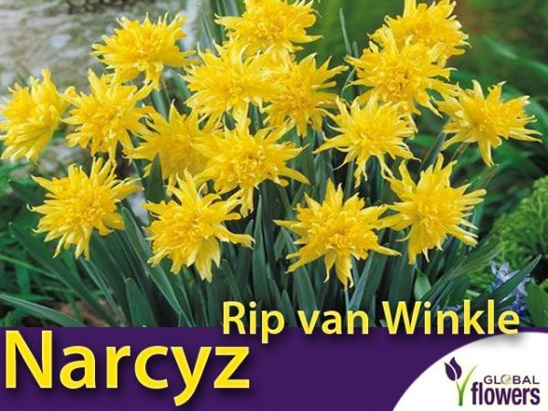 Narcyz Species 'Rip van Winkle' (Narcissus) CEBULKI