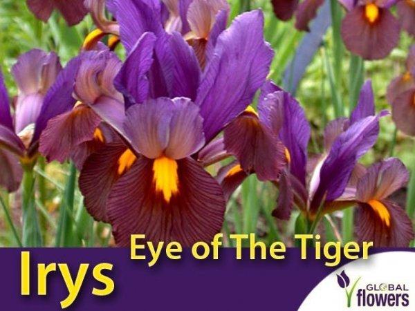 Irys Holenderski Eye of The Tiger (Iris hollandica) CEBULKI