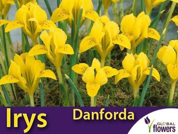 Irys Żółty Danforda cebulki