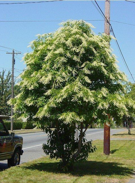 Oxydendrum arboreum sadzonki