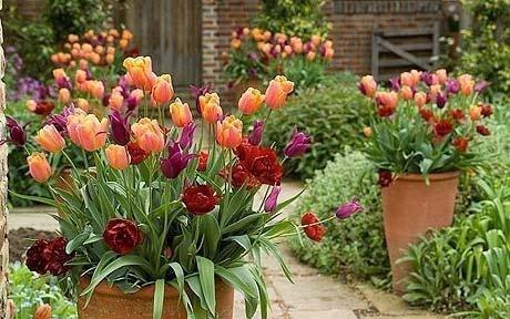 tulipnay cebulki