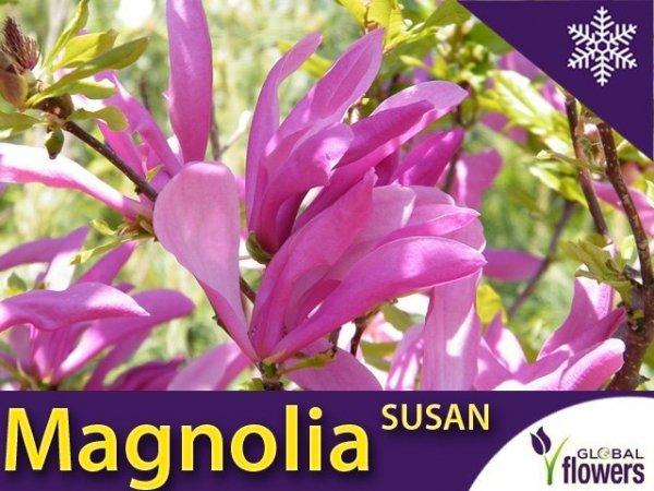 Magnolia 'Susan' (Magnolia) Duża Sadzonka