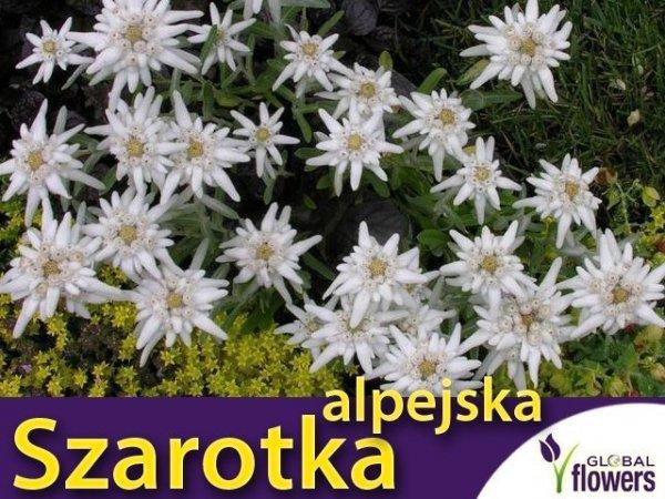 Szarotka alpejska biała sadzonka