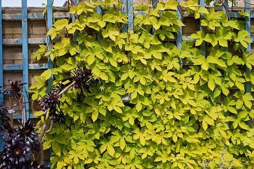 Chmiel w ogrodzie uprawa i pielęgnacja