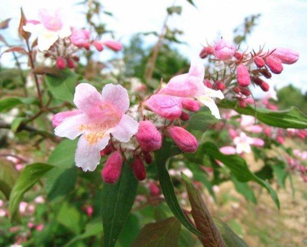 Kolkwicja chińska Pink Cloud Kolkwitzia amabilis