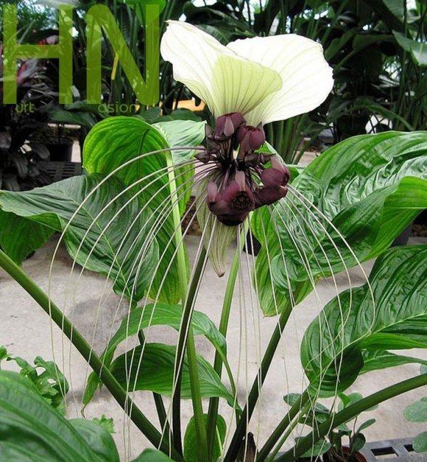 Kwiat Nietoperz Biały (Tacca Nivea)