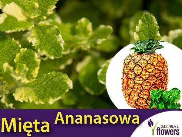 Mięta Ananasowa (Mentha suaveolens Variegata Pineapple) Sadzonka