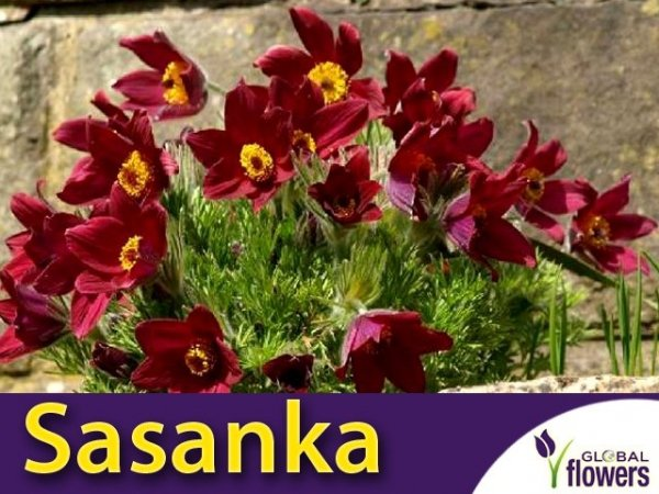 Sasanka zwyczajna czerwona (Pulsatilla vulgaris) nasiona