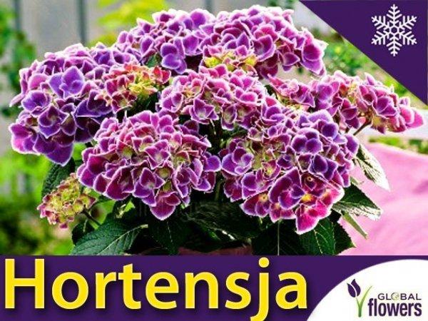 Hortensja ogrodowa 'Tivoli blau' (Hydrangea macrophylla) Dwubarwna Sadzonka
