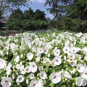 Hibiskus o białych kwiatach pielęgnacja